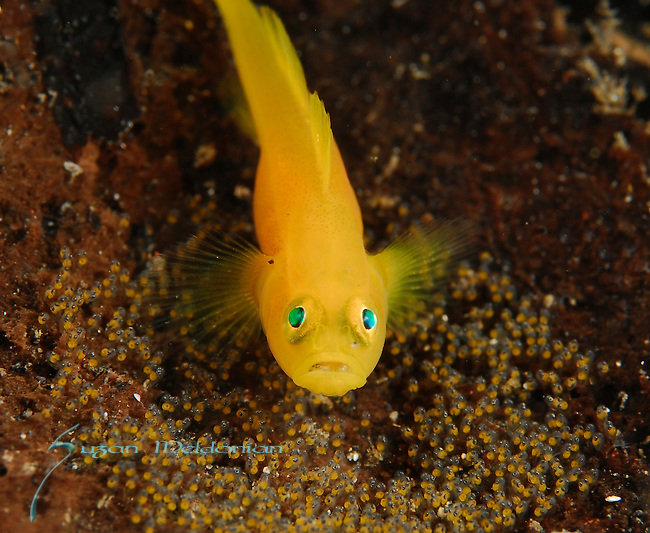Golden Gobies with Eggs, Lubricogobius ornatus,  Lembeh Straits, Sulawesi Sea, Indonesia, Amazing Underwater Photography