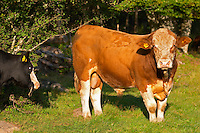 Bull Brown and white Smaland region. Sweden, Europe.