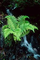 Gewöhnlicher Wurmfarn, Echter Wurmfarn, Männerfarn, Dryopteris filix-mas, male fern, worm fern, La Fougère mâle