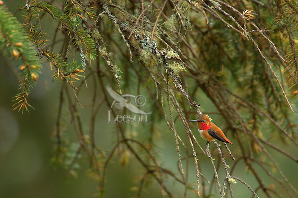Male Rufous Hummingbird sitting on sika spruce branch.  Pacific Northwest coastal forest.  April.