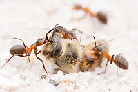 Wood ants (Formica rufa) wrestling with carcass of bee. Dorset, UK.