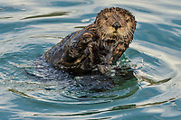 Juvenile or adolescent Southern Sea Otter.  Central California Coast.