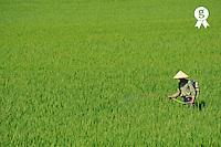 Farmer spraying pesticide on rice crop (Licence this image exclusively with Getty: http://www.gettyimages.com/detail/93522421 )