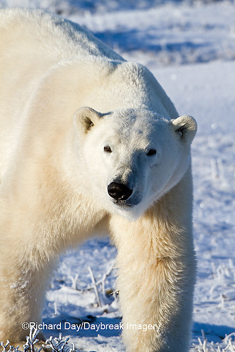 01874-12418 Polar bear (Ursus maritimus) walking in winter, Churchill Wildlife Management Area, Churchill, MB Canada