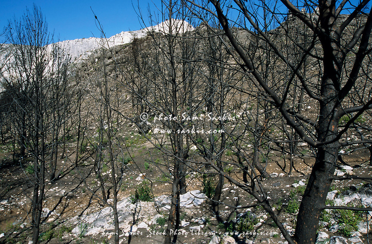 Forest of burned pine trees bare after the fires in September 1999, Sormiou Calanque, Marseille, France.