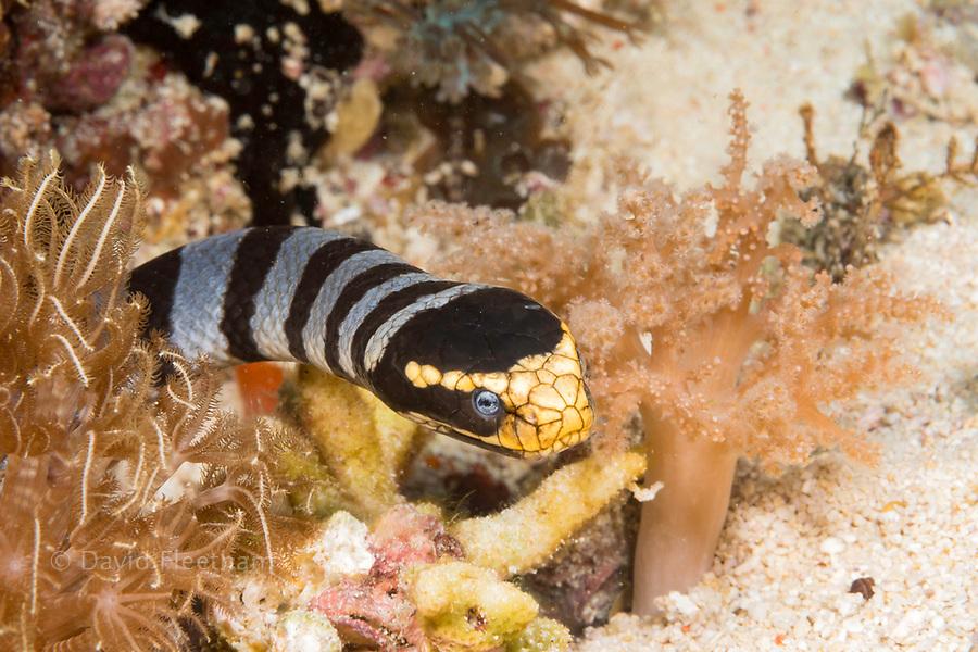 Venomous banded yellowlip sea snake, Laticauda colubrina, also known as a sea krait, Philippines.