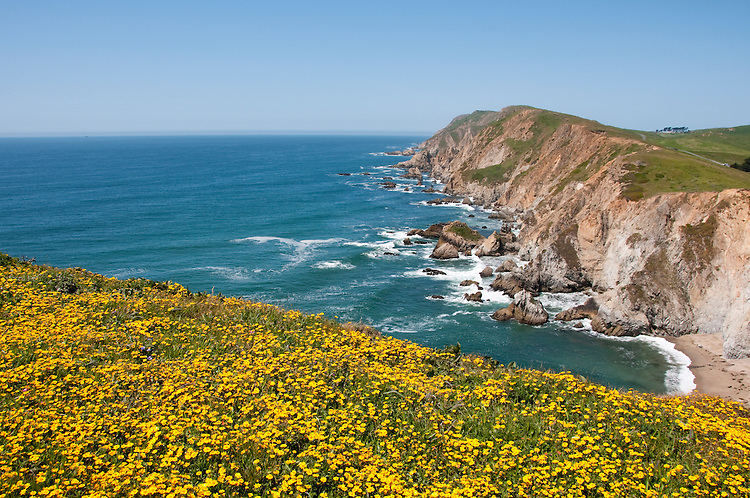 California wildflower travel: Goldfields and seascape at Chimney Rock in Point Reyes.Photo copyright Lee Foster.  Photo # cawild102499