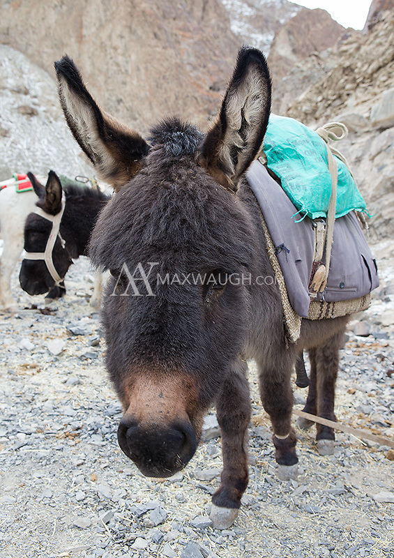 Donkeys wait for the hike up to our base camp in Hemis National Park.