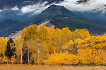 Gallatin National Forest, MT: Autumn aspens in a meadow under Crown Butte and the Gallatin Range