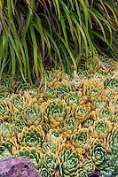 Echevaria agavoides, succulent grouncover in California garden