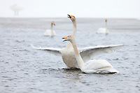 Whooper swan speading its wings.