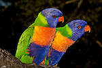 Close up of a pair of Rainbow Lorikeets reveals the beauty of an unusual combination of colours - blue, green, yellow, orange.  //  Rainbow Lorikeet - Psittacidae: Trichoglossus haematodus. Length to 30cm; wingspan to 45cm; weight to 150g; Found in northern and eastern Australia from the Kimberley Region in northern Western Australia (Red-collared Lorikeet, T. h. rubritorquis) to eastern South Australia. Occurs in forests, woodlands, heath, and rural and urban areas. A noisy, boisterous, pugnacious species with distinctive mating displays. The iris, a narrow brown ring surrounding the pupil and bright orange-red around this, is used in mating and threat displays.  Aviary-escapees are established in many towns and cities. Widespread with many subspecies - often with a different name - from eastern Indonesia (Maluku=Moluccan Islands) through New Guinea east to Vanuatu and New Caledonia in the south-west Pacific, north through Manus I and the Admiralty Islands to the Philippine Islands (this may be a separate sepcies - the taxonomy of the group is yet to be finalised).  //