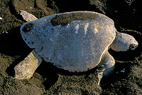 nesting olive ridley sea turtle, Lepidochelys olivacea, with boat propeller scars on carapace, Playa Ostional, Costa Rica, Pacific Ocean