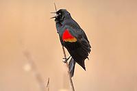 Red-winged Blackbird (Agelaius phoeniceus) male singing.  Pacific Northwest.  Spring.