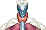 An anterior view of the larynx. Royalty Free