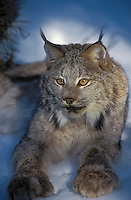 LYNX ready to make a quick leap from it hiding place. Winter. (Felis lynx canadensis)..