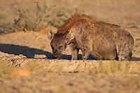 Spotted hyena standing inside a waterhole