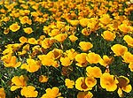 California state flower, Poppy, in Mendocino, California