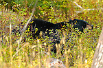 Black Bear Smelling Berries, Tower Junction, Yellowstone National Park, Wyoming