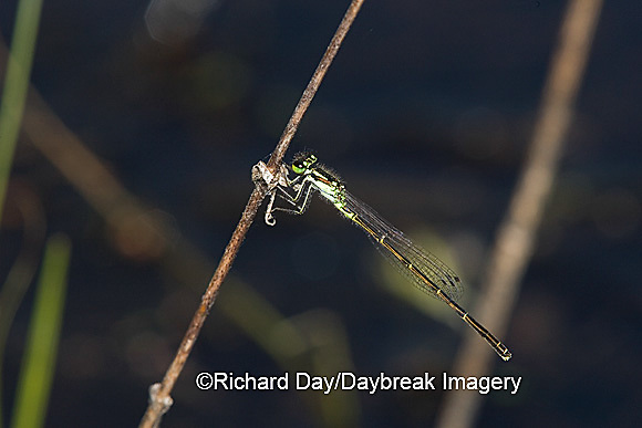 06326-001.04 Fragile Forktail (Ischnura posita) male in wetland, Marion Co.  IL