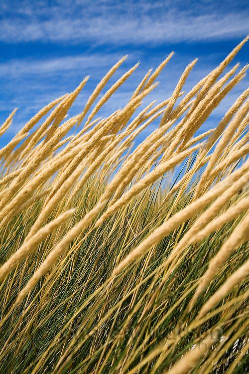 Beachgrass on the dunes at Binnalong Bay.  St Helens, Tasmania, AUSTRALIA
