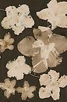 Lumen print of Azalea flowers