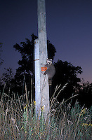 Raccoon on Telephone Pole Startled by Flash in Evening