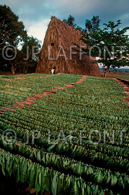 Cuba, March 1992: Harvested Tobacco leaves ready to be taken into the Casa de Tobacco, a rare traditional tobacco drying house near Vinales in Cuba,  where they will begin to dry and ferment.