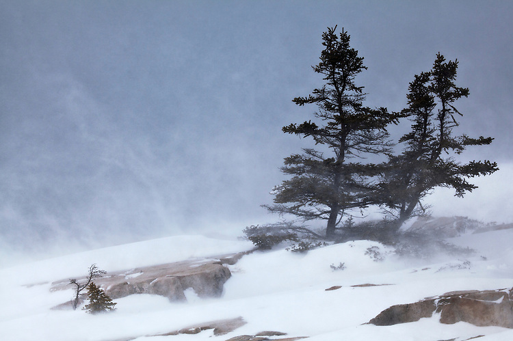 "Pines persist during the blizzard ""Winter Storm Nemo"" in 2013 on the Schoodic Point on Schoodic Peninsula in Acadia National Park, Maine, USA"
