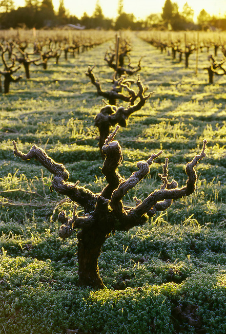 winter grape vines in Napa Valley