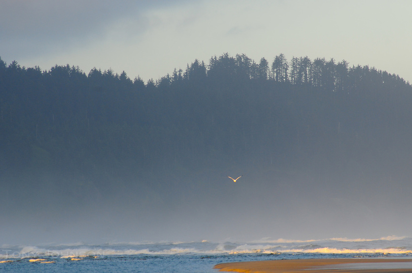 Gull over Shoreline, Cape Lookout State Park, Oregon