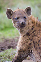 Spotted Hyena, Serengeti National Park, Tanzania, East Africa