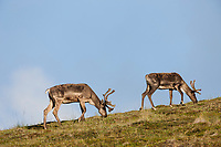 Barren ground caribou in summer velvet walk along a ridge in Denali National park, Interior, Alaska.