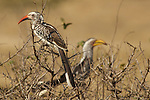 Calao à bec rouge, Red-billed Hornbill (Tockus erythrorhynchu