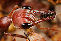 Head shot of bull / bulldog ant {Myrmecia sp} showing long, slender mandibles. These ants are known for their aggression and powerful sting. New South Wales, Australia. website