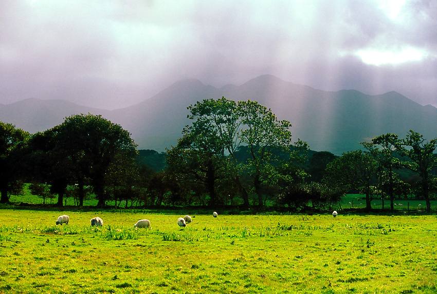 Sheep grazing in a field near Killarney, County Kerry, Ireland