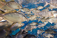 juvenile Kona Kampachi, Hawaiian yellowtail, aka almaco jack or kahala, Seriola rivoliana, inside open ocean fish pen, Kona Blue Water Farms, Big Island, Hawaii, Pacific Ocean