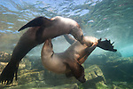 Underwater shot of Two California Sea Lion Females in a slow dance.  This ballet went on for several minutes in Los Islotes, La Paz, Mexico
