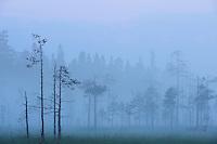 Taiga Marshlands/bog and Pine trees, Pinus sylvestris.Kuhmo, Finland