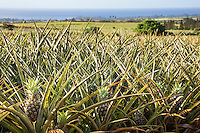 Pineapples in a field, North Shore, O'ahu