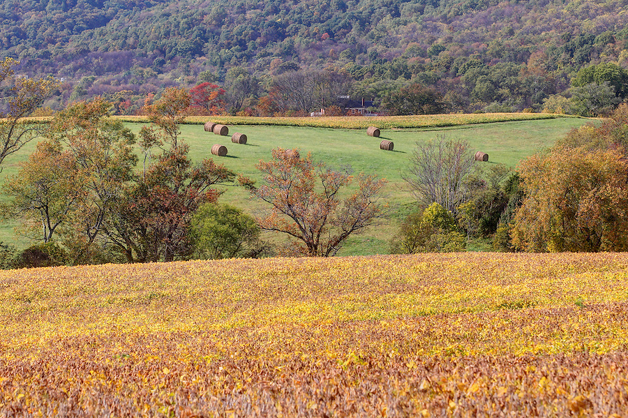 A colorful field of soy beans on a farm with hay bales near the Blue Ridge Mountains in Crozet, VA. Photo/Andrew Shurtleff