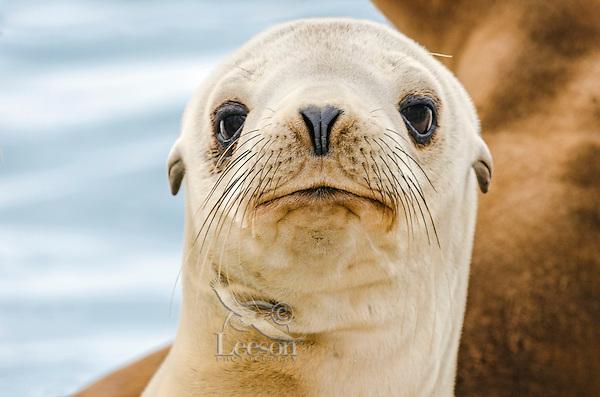 Young California sea lion (Zalophus californianus) pup.  Central California Coast.