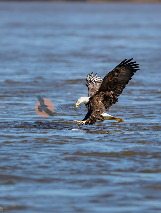 Adult Bald Eagle with feet forward, about to catch a fish in water. Fish is visible in water