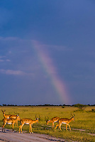 Botswana-Wildlife-Antelopes-Misc.