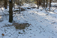 Reh, Rehwild, Liegeplatz, Schlafplatz auf Waldboden im Schnee, Schnee weggescharrt und weggetaut, Capreolus capreolus, roe deer