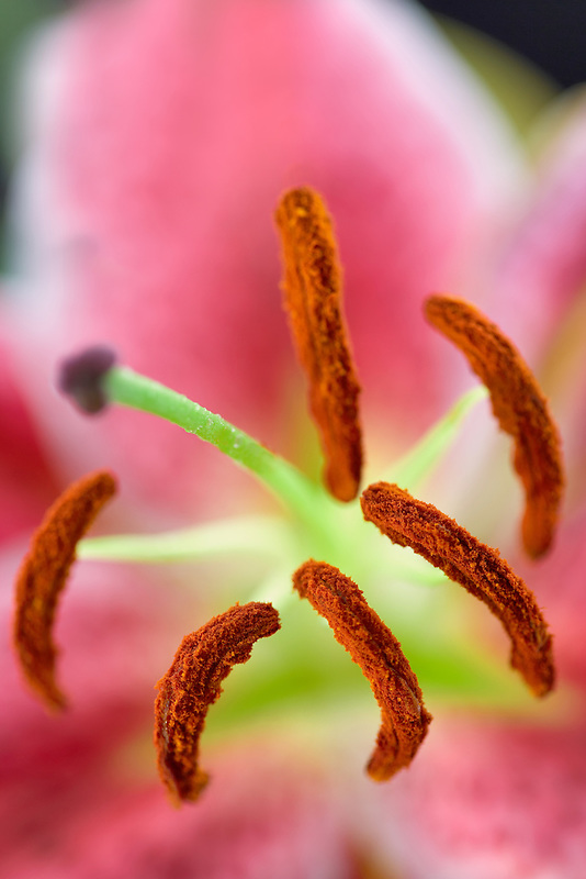 Close up of stamens and pistil in a Star Gazer Lily with pollen