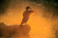 Wood Duck hen drying wings. British Columbia. Canada. (Aix sponsa).