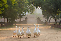 geese at Castle Kanota