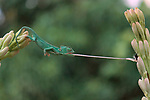 Chameleon catching a fly with its tongue by Ajar Setiadi