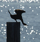 COPIAGUE,NY-OCTOBER 29,2007:  A Cormorant sitting on a piling in Great South Bay off Tanner Park in Copiague. Newsday / Jim Peppler